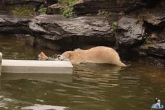 Eisbären Hertha und Tonja im Tierpark Berlin 18.08.2019 126 (Fruehlingsstern) Tags: eisbär polarbear tonja hertha tierpark berlin tamron16300 canoneos77
