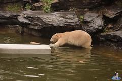 Eisbären Hertha und Tonja im Tierpark Berlin 18.08.2019 125 (Fruehlingsstern) Tags: eisbär polarbear tonja hertha tierpark berlin tamron16300 canoneos77