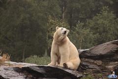 Eisbären Hertha und Tonja im Tierpark Berlin 18.08.2019 124 (Fruehlingsstern) Tags: eisbär polarbear tonja hertha tierpark berlin tamron16300 canoneos77