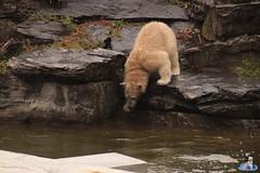 Eisbären Hertha und Tonja im Tierpark Berlin 18.08.2019 122 (Fruehlingsstern) Tags: eisbär polarbear tonja hertha tierpark berlin tamron16300 canoneos77