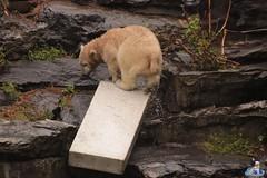 Eisbären Hertha und Tonja im Tierpark Berlin 18.08.2019 120 (Fruehlingsstern) Tags: eisbär polarbear tonja hertha tierpark berlin tamron16300 canoneos77