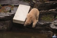 Eisbären Hertha und Tonja im Tierpark Berlin 18.08.2019 118 (Fruehlingsstern) Tags: eisbär polarbear tonja hertha tierpark berlin tamron16300 canoneos77