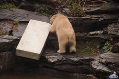 Eisbären Hertha und Tonja im Tierpark Berlin 18.08.2019 115 (Fruehlingsstern) Tags: eisbär polarbear tonja hertha tierpark berlin tamron16300 canoneos77