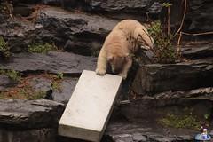 Eisbären Hertha und Tonja im Tierpark Berlin 18.08.2019 113 (Fruehlingsstern) Tags: eisbär polarbear tonja hertha tierpark berlin tamron16300 canoneos77