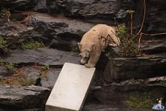 Eisbären Hertha und Tonja im Tierpark Berlin 18.08.2019 112 (Fruehlingsstern) Tags: eisbär polarbear tonja hertha tierpark berlin tamron16300 canoneos77