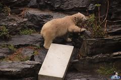 Eisbären Hertha und Tonja im Tierpark Berlin 18.08.2019 111 (Fruehlingsstern) Tags: eisbär polarbear tonja hertha tierpark berlin tamron16300 canoneos77