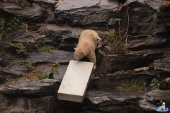 Eisbären Hertha und Tonja im Tierpark Berlin 18.08.2019 110 (Fruehlingsstern) Tags: eisbär polarbear tonja hertha tierpark berlin tamron16300 canoneos77