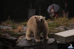 Eisbären Hertha und Tonja im Tierpark Berlin 18.08.2019 109 (Fruehlingsstern) Tags: eisbär polarbear tonja hertha tierpark berlin tamron16300 canoneos77