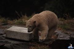 Eisbären Hertha und Tonja im Tierpark Berlin 18.08.2019 107 (Fruehlingsstern) Tags: eisbär polarbear tonja hertha tierpark berlin tamron16300 canoneos77