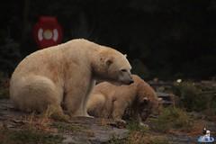 Eisbären Hertha und Tonja im Tierpark Berlin 18.08.2019 106 (Fruehlingsstern) Tags: eisbär polarbear tonja hertha tierpark berlin tamron16300 canoneos77
