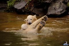 Eisbären Hertha und Tonja im Tierpark Berlin 18.08.2019 147 (Fruehlingsstern) Tags: eisbär polarbear tonja hertha tierpark berlin tamron16300 canoneos77
