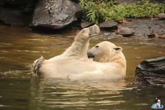 Eisbären Hertha und Tonja im Tierpark Berlin 18.08.2019 138 (Fruehlingsstern) Tags: eisbär polarbear tonja hertha tierpark berlin tamron16300 canoneos77