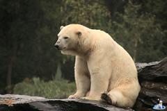 Eisbären Hertha und Tonja im Tierpark Berlin 18.08.2019 121 (Fruehlingsstern) Tags: eisbär polarbear tonja hertha tierpark berlin tamron16300 canoneos77