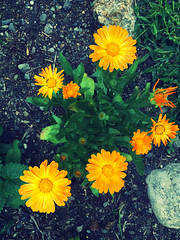 We each have a place (77ahavah77) Tags: unity harmony sharing together flowers garden yellow blossom maine nature outside summer