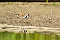 kildear (Radar Boy) Tags: dalewoodreservoir avian bird shorebird