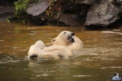 Eisbären Hertha und Tonja im Tierpark Berlin 18.08.2019 143 (Fruehlingsstern) Tags: eisbär polarbear tonja hertha tierpark berlin tamron16300 canoneos77
