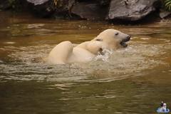 Eisbären Hertha und Tonja im Tierpark Berlin 18.08.2019 140 (Fruehlingsstern) Tags: eisbär polarbear tonja hertha tierpark berlin tamron16300 canoneos77