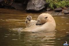 Eisbären Hertha und Tonja im Tierpark Berlin 18.08.2019 137 (Fruehlingsstern) Tags: eisbär polarbear tonja hertha tierpark berlin tamron16300 canoneos77