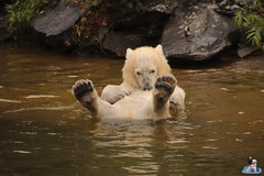 Eisbären Hertha und Tonja im Tierpark Berlin 18.08.2019 136 (Fruehlingsstern) Tags: eisbär polarbear tonja hertha tierpark berlin tamron16300 canoneos77