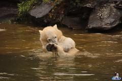 Eisbären Hertha und Tonja im Tierpark Berlin 18.08.2019 131 (Fruehlingsstern) Tags: eisbär polarbear tonja hertha tierpark berlin tamron16300 canoneos77