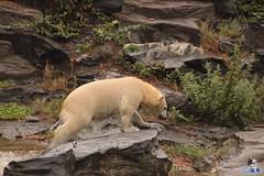 Eisbären Hertha und Tonja im Tierpark Berlin 18.08.2019 129 (Fruehlingsstern) Tags: eisbär polarbear tonja hertha tierpark berlin tamron16300 canoneos77