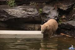 Eisbären Hertha und Tonja im Tierpark Berlin 18.08.2019 123 (Fruehlingsstern) Tags: eisbär polarbear tonja hertha tierpark berlin tamron16300 canoneos77