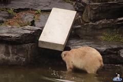 Eisbären Hertha und Tonja im Tierpark Berlin 18.08.2019 119 (Fruehlingsstern) Tags: eisbär polarbear tonja hertha tierpark berlin tamron16300 canoneos77