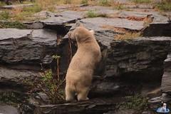 Eisbären Hertha und Tonja im Tierpark Berlin 18.08.2019 117 (Fruehlingsstern) Tags: eisbär polarbear tonja hertha tierpark berlin tamron16300 canoneos77