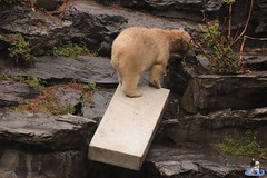 Eisbären Hertha und Tonja im Tierpark Berlin 18.08.2019 114 (Fruehlingsstern) Tags: eisbär polarbear tonja hertha tierpark berlin tamron16300 canoneos77