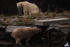 Eisbären Hertha und Tonja im Tierpark Berlin 18.08.2019 108 (Fruehlingsstern) Tags: eisbär polarbear tonja hertha tierpark berlin tamron16300 canoneos77