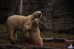 Eisbären Hertha und Tonja im Tierpark Berlin 18.08.2019 105 (Fruehlingsstern) Tags: eisbär polarbear tonja hertha tierpark berlin tamron16300 canoneos77