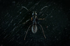 Carpenter Ant (CJH Natural) Tags: frenchcarpenterant camponotusaethiops carpenterant ant insect black dark legs macro nature natural wildlife wild naturerules