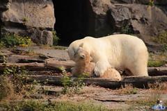 Eisbären Hertha und Tonja im Tierpark Berlin 18.08.2019 307 (Fruehlingsstern) Tags: eisbär polarbear tonja hertha tierpark berlin tamron16300 canoneos77