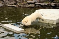 Eisbären Hertha und Tonja im Tierpark Berlin 18.08.2019 285 (Fruehlingsstern) Tags: eisbär polarbear tonja hertha tierpark berlin tamron16300 canoneos77