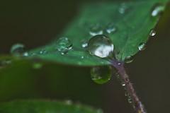 Impressive drop (フォトグラファー @davedesignz7993) Tags: wasser water tropfen drops kugel ball pflanzen plants garten garden closeup view image denmark olympus olympuse5 sigma makro macro japan