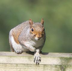 Squirrel. (wurzel.pete.3.9 Million views,Ta!) Tags: 18819 raf caterham animal uk surrey squirrel