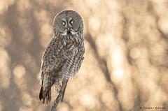 Great Grey Owl Southern Visit! (Greggor58) Tags: wildlife nature owl greatgreyowl tree branch sunset eyes canada easternontario ottawa