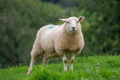 230/365 (Charlie Little) Tags: wildlife animals sheep cumbria p365 project365 nikon d7200 tamron18400mm