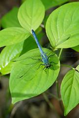 47 dragonfly (anne.kane) Tags: 40acrerock southcarolina wildflowers waterfalls naatureconservancy