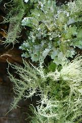 46 lichen on fallen branch (anne.kane) Tags: 40acrerock southcarolina wildflowers waterfalls naatureconservancy
