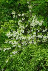36 fringetree (anne.kane) Tags: 40acrerock southcarolina wildflowers waterfalls naatureconservancy