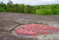 34 Liz over the edge (anne.kane) Tags: 40acrerock southcarolina wildflowers waterfalls naatureconservancy