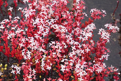 28 Elf orpine (anne.kane) Tags: 40acrerock southcarolina wildflowers waterfalls naatureconservancy