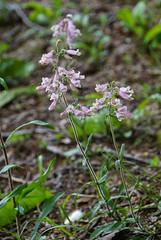 24 hairy beardtongue (anne.kane) Tags: 40acrerock southcarolina wildflowers waterfalls naatureconservancy