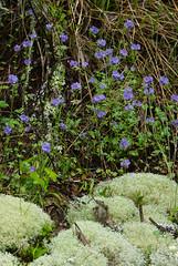 8 phacelia and reindeer moss (anne.kane) Tags: 40acrerock southcarolina wildflowers waterfalls naatureconservancy