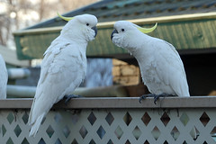 Time for a chat (PhotosbyDi) Tags: sulphurcrestedcockatoos australianwhitecockatoos cockatoos australia birds backyardbirds panasoniclumix panasonocfz300 lumixfz300