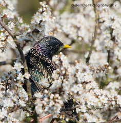Iridescent on white 2 (GemElle Photography - off & on sorry) Tags: gemelle gemellephotography gemelle1 nikon d610 sigma 50500 bird starling purple green whiteflowers