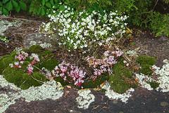 43 sandwort, elf orpine, moss and lichen (anne.kane) Tags: 40acrerock southcarolina wildflowers waterfalls naatureconservancy