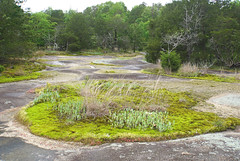30 ragwort garden (anne.kane) Tags: 40acrerock southcarolina wildflowers waterfalls naatureconservancy