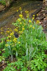 12 Wooly ragwort (Packera tomentosa) ragwort (anne.kane) Tags: 40acrerock southcarolina wildflowers waterfalls naatureconservancy